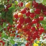 kaip_auginti_pomidorus