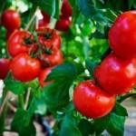Pomidoru prieziura
