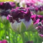 Tulpiu rusys