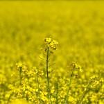 sėklos žaliajai trąšai
