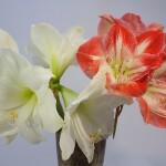 Kiek laiko žydi amarilis