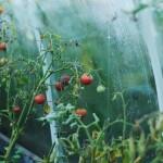 Šiltnamio priežiūra rudenį